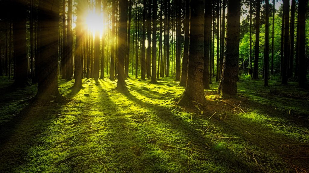 image of sunbeams filtering through a forest of pine trees with green moss along the forest floor.