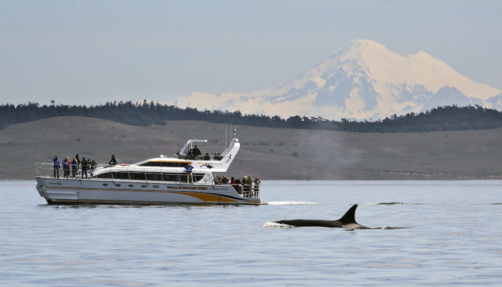 photo of breaching orca whale in Salish Sea on British Columbia's Pacific Coast, with Eagle Wing Tour boat in background