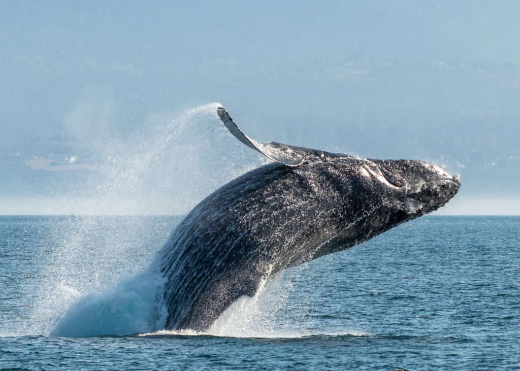 Photo contributed by Eagle Wing Tours of a humpback whale breaching out of the Salish Sea off British Columbia's Pacific Coast